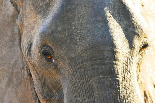 African female elephant – Mana Pools – Zimbabwe, Africa