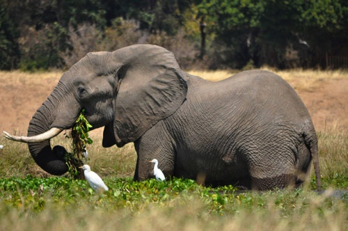African bull with egrets