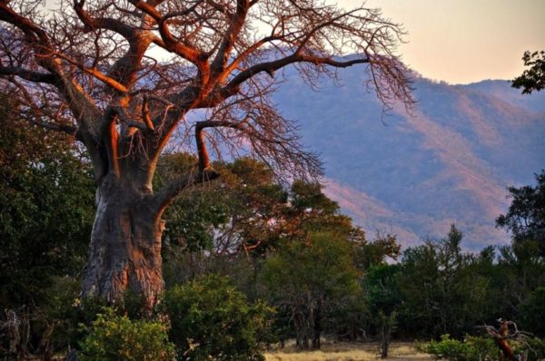 Baobob Tree, Mana Pools, Zimbabwe, Africa