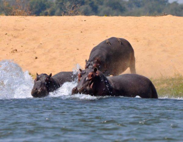 Canoeing down the Zambezi, Zimbabwe, Africa