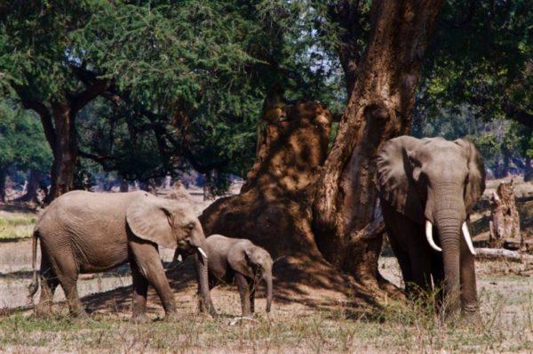 Elephant family along the Zambezi River