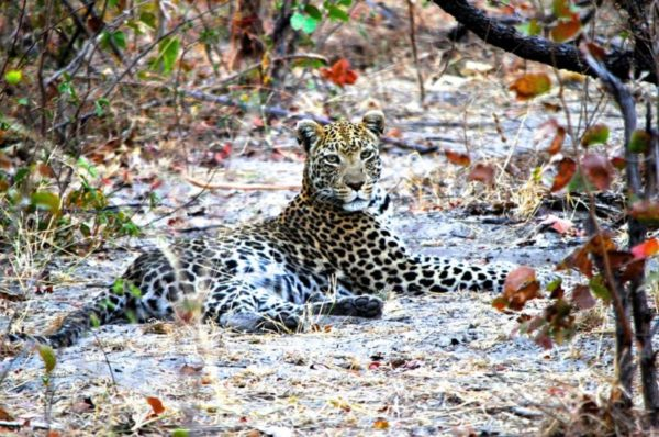 Female Leopard resting