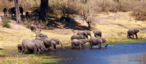 Female elephant herd in Botswana
