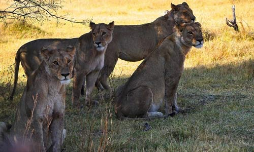 Female lionesses resting before heading out for a kill.