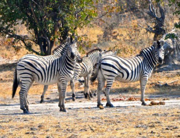 Herd of Zebras, Okavango Delta, Botswana