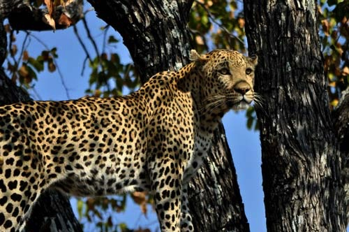 Male Leopard – Okavango Delta, Botswana