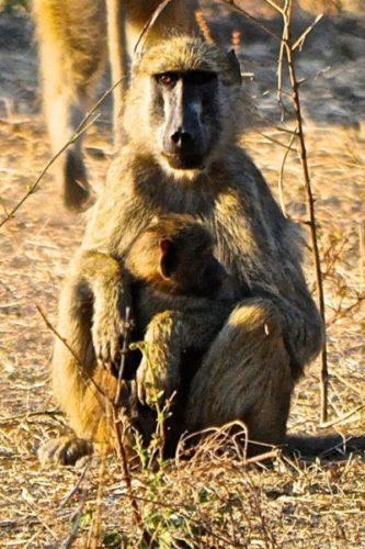 Momma and baby Baboon, Okavango Delta, Botswana