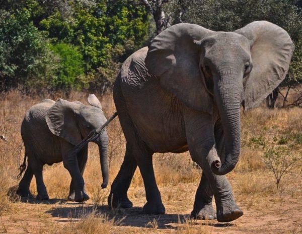 Momma elephant with her baby, Mana Pools, Zimbabwe, Africa