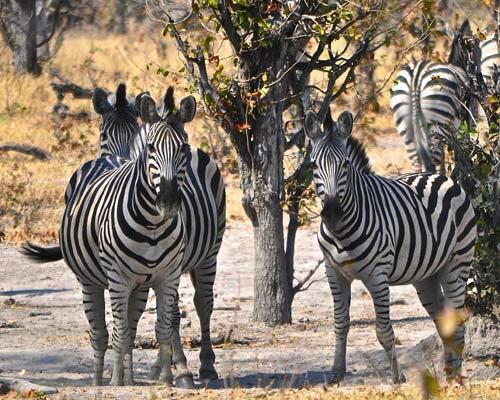 Zebra herd in the Okavango Delta, Botswana, Africa