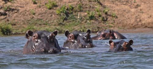 Curious Hippos