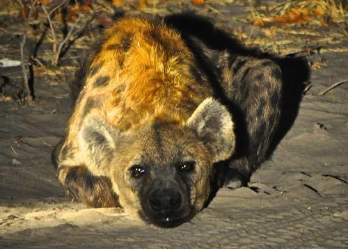 Cute Hyenas