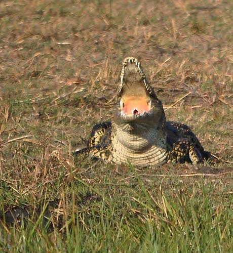 Zambezi Crocodile