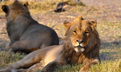 Male lions resting in the shade, Okavango Delta, Botswana, Africa